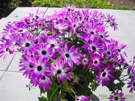 Blumen Und Sterne by Teneriffa 187 Mein Pflanzenblog