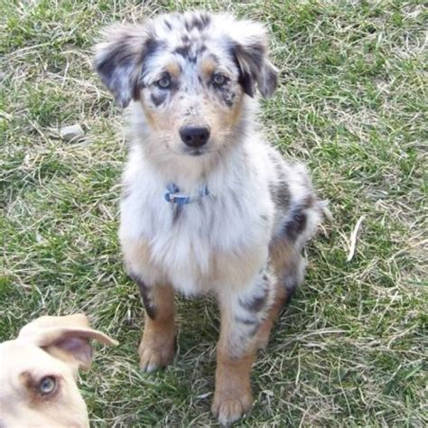 blue merle australian shepherd puppies haired blue merle australian shepherd puppy search happiness is
