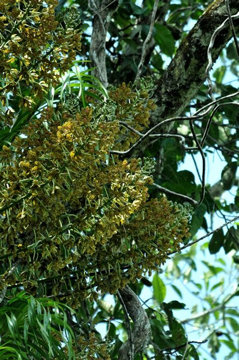 ninas blog pesona anggrek tebu hutan tropis kapuas hulu