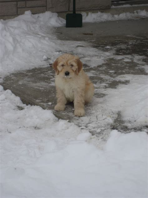 puppy in the cockapoo puppy in the snow puppies for sale dogs for sale in ontario canada