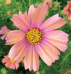 cosmos bipinnatus apricot buy online at annie s annuals
