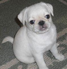 marshmallow white pug ma pugs white buster black tula brown molly on white pug