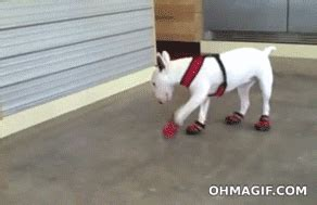 dogs walking in shoes shoes walking gif images