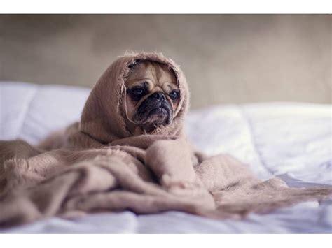 pug snug snug as a pug in a rug wyandotte mi patch