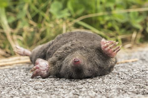 Will Landscape Fabric Keep Moles Out Mole And Treatments For The Home Yard And Garden