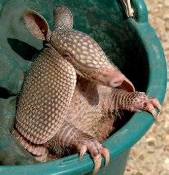 national geographics armadillo dangerous animals