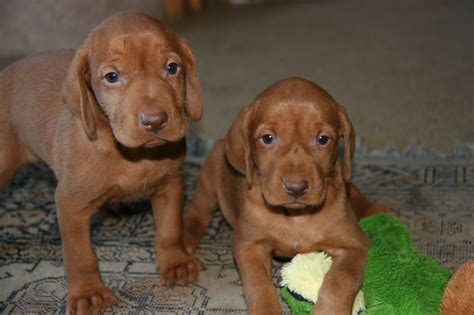 wirehaired vizsla puppies stunning hungarian wirehaired vizsla puppies southton hshire pets4homes