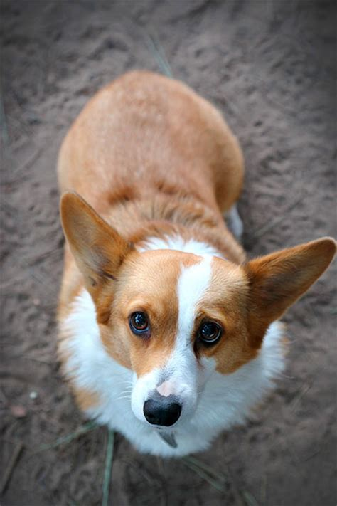 how many corgis does the how much should a 10 week corgi weight loss cloudsnews