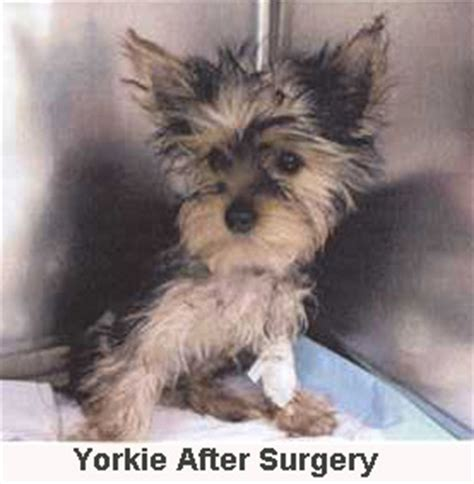 what is liver shunt in yorkies drtobias