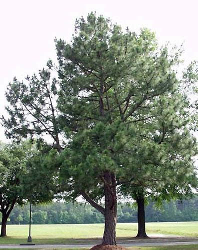 Olive Garden Southern Pines Nc by Trees Click Pictures For Larger Images Ponseti Landscaping