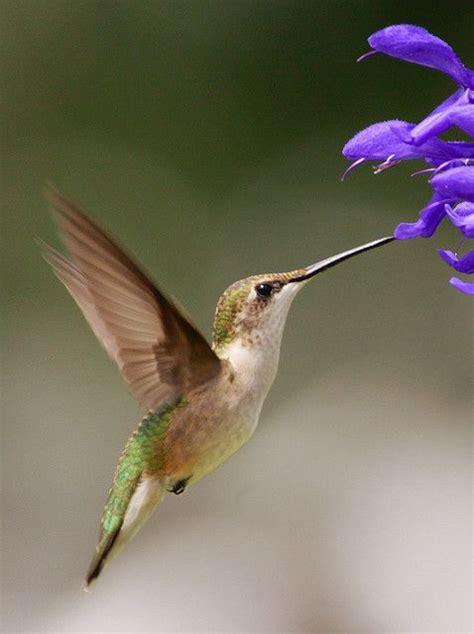 best 25 ruby throated hummingbird ideas on pinterest