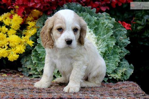 cocker spaniel puppies for sale near me cocker spaniel puppy for sale near lancaster pennsylvania f6cffc28 0041