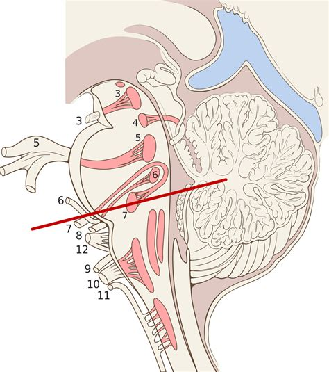 sagittal section cranial root of accessory nerves wikipedia