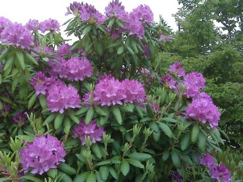 Patio Rhododendron by Image Result For S Purple Rhododendron
