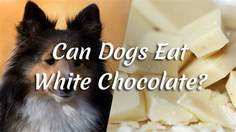can dogs white chocolate can dogs eat white chocolate pet consider