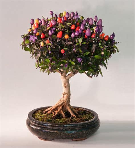 indoor bonsai kaufen bonsai baum kaufen und richtig pflegen einige wertvolle