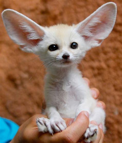 10 Cute Animals With Big Ears   Fennec Fox