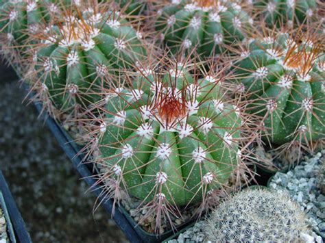 Melocactus Ernestii images
