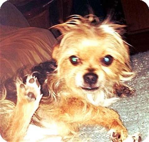 yorkie puppies toledo ohio toledo oh yorkie terrier meet chewy a for adoption