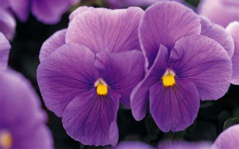 imagenes rosas violetas fondo de pantalla flores violetas con amarillo hd