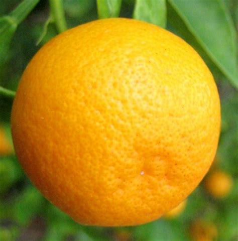 tanaman jeruk tongheng bibitbunga