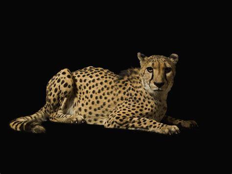 black cheetah background wallpapersafari
