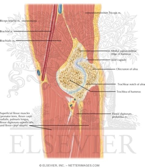 Sagittal Cross Section by Cross Section Of The Sagittal View