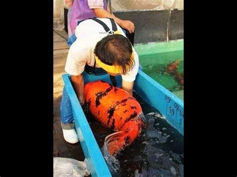 download mp3 gratis gigi ikan laut 18 45 mb free warna warni penjual ikan mas mp3