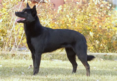 australian kelpie puppies australian kelpie history personality appearance health and pictures
