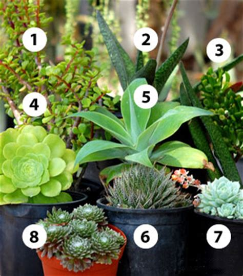 shady characters succulents for shade cacti com