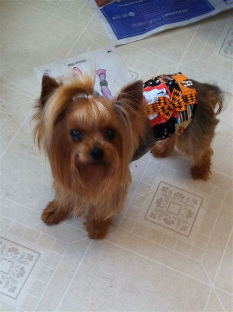 pretty yorkies kara s pretty yorkies terrier breeder gooding idaho