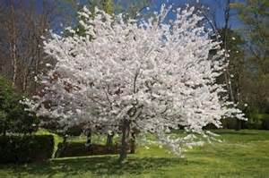 a poem a day day 636 white blossoms