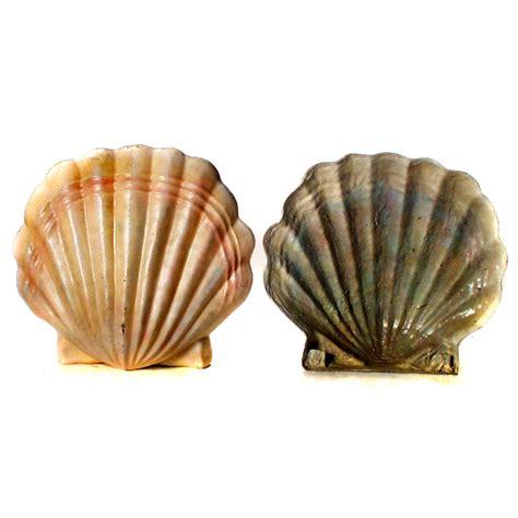 Clam Shells   The Prop Shop