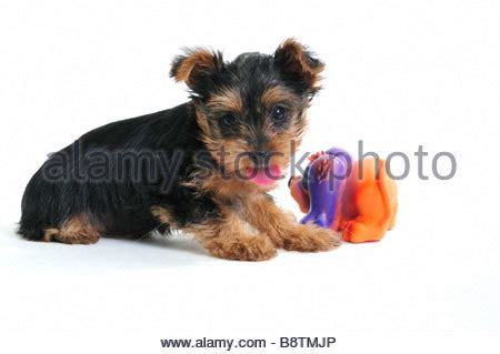 7 week yorkie terrier yorkie canis lupus familiaris going for a ride stock photo