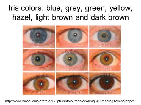 genetics eye color understanding genetics of human eye color ppt