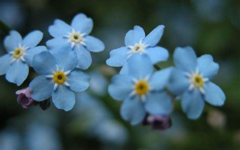 fiori azzurri nomi fiori azzurri fiorista significato dei fiori azzurri