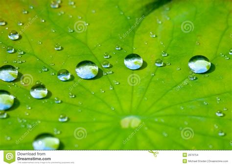 lotus with water lotus leaf with water drop stock images image 2879754