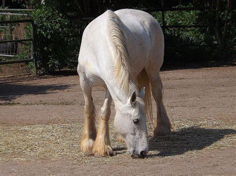 Gr Te Pferd Der Welt by Die Gr 246 223 Te Shire Horse Und Die Kleinste Rasse Der Welt