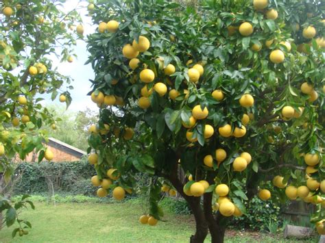 tree images lemon tree pictures