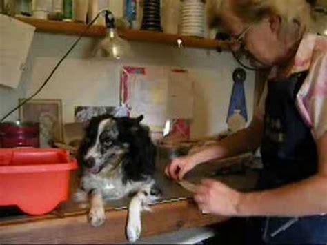 taping pugs ears taping a dogs ears doovi