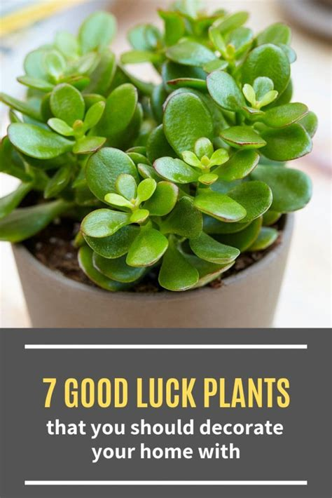 good luck plants    decorate  home