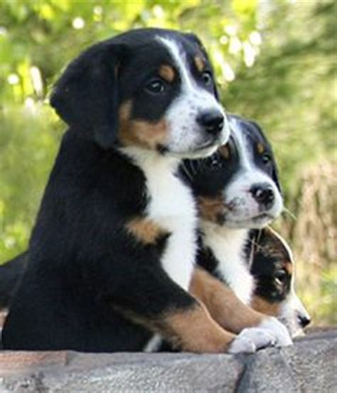 swissy puppies 1000 ideas about swiss mountain dogs on mountain dogs entlebucher