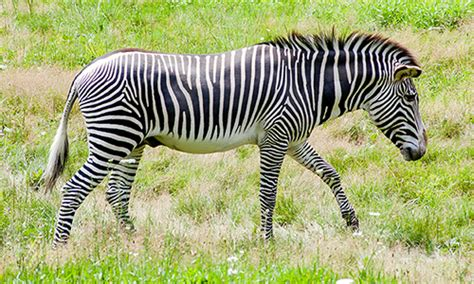 zebra pattern evolution why zebras have stripes hint it s not for camouflage