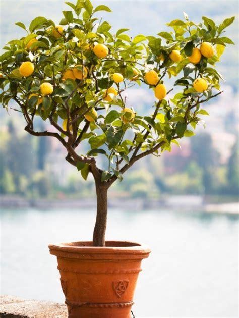 fruit trees buy buy fruit trees the tree center