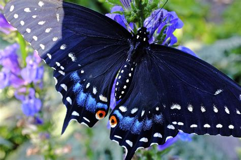 life story of the black swallowtail butterfly