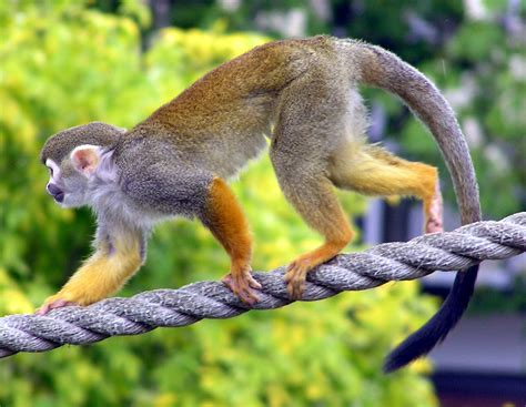 monkey with squirrel monkey the of animals