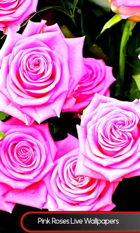 live wallpaper pink rose pink roses live wallpapers android apps on google play