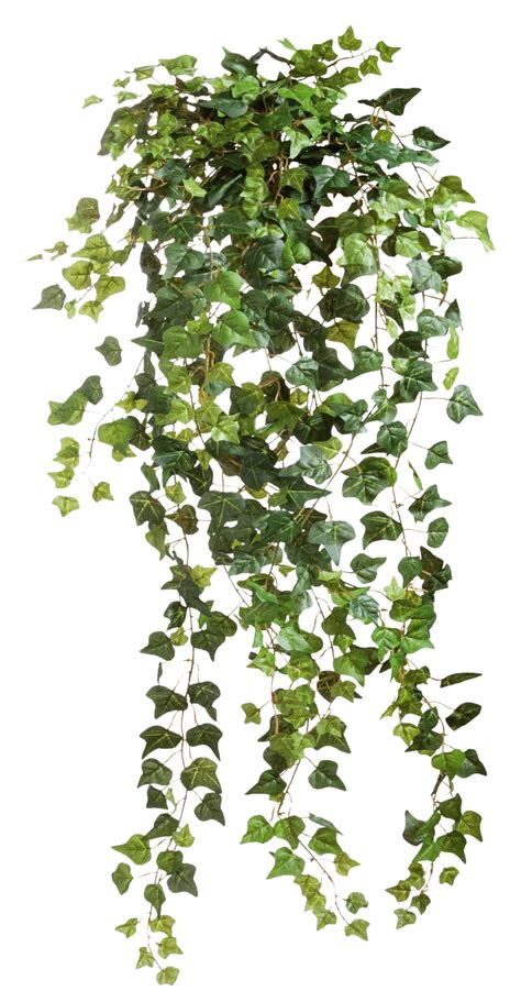Ivy Png ClipArt #43676   Free Icons and PNG Backgrounds