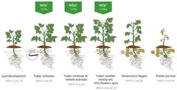 sweet potato plant diagram www imgkid com the image