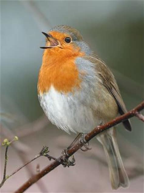 european robin welcome wildlife